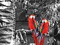 Macaws - New World Parrots!!