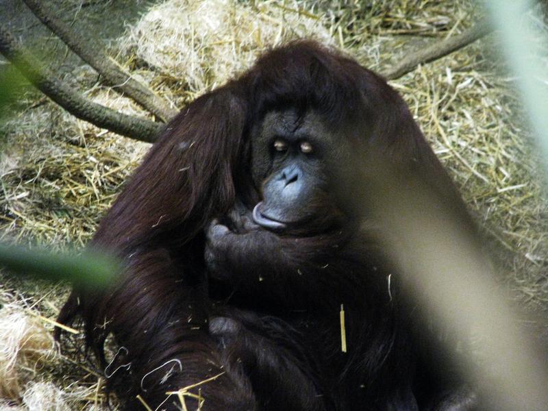 SA Gorilla